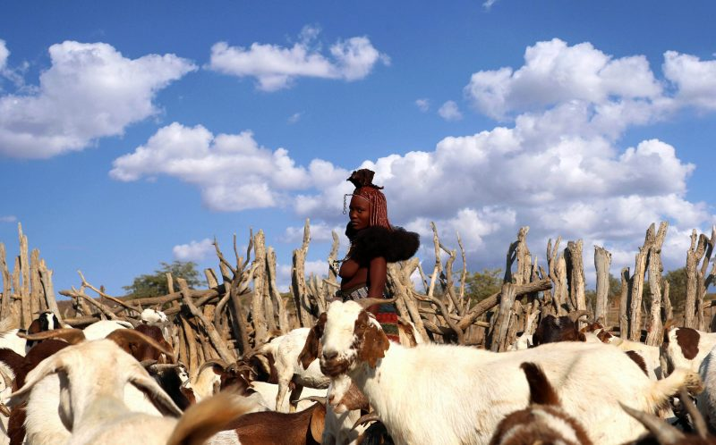 PIC BY BJORN PERSSON / CATERS NEWS - (PICTURED: A member of the Himba Tribe with a herd of goats.) - These striking images show an elegant African tribeswoman in traditional dress and mud for sunscreen - checking out deals on washing powder. The woman, from the Himba tribe in Opuwo, Namibia, popped into her local grocery store to pick up a few of lifes essentials.Himba tribespeople lead a very traditional lifestyle, and so the photos reveal the very pervasive nature of globalisation. The lady, thought to be in her early twenties, was pictured by Swedish wildlife and documentary photographer Bjorn Persson. SEE CATERS COPY.