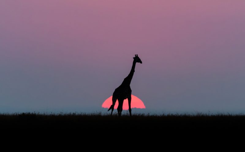 PIC JONAS STENQVIST / CATERS NEWS - (PICTURED: The outline of a giraffe backlit against a setting sun as it roams the plains of the Masai Mara in Keyna.) - These stunning silhouettes of giraffes grazing in front of a gorgeous African sunset were captured on the Maasai Mara reserve in Kenya. Swedish producer and nature photographer, Jonas Stenqvist, 38 from Stockholm struck gold on safari, describing the shot as a simple but beautiful moment in time. Other photos by Jonas would not look out of place in a Lion King movie with the colourful skyline setting a dramatic backdrop for herds of zebra and wildebeest. SEE CATERS COPY.
