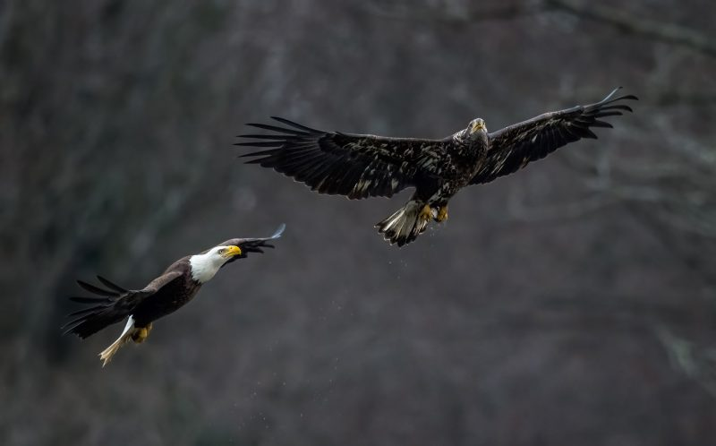 PIC BY ERIC ESTERLE / CATERS NEWS - (PICTURED: 1 of 16, Two Bald Eagles.) - Talk about a feeding frenzy!  This fish supper was fought over by FOUR eagles! Sometimes fishing for your own meal is too much effort, or at least thats what these lazy eagles thought when they decided to swipe their rivals catch of the day! The challenger successfully forced his opponent to drop his fish before it was swiped by ANOTHER eagle, a cheeky juvenile who saw a chance for an easy meal. - SEE CATERS COPY