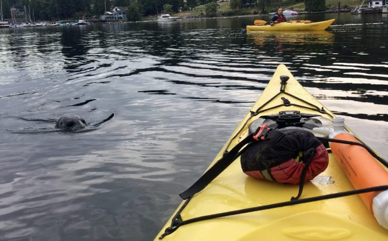 PIC BY KAREN MIKADO / CATERS NEWS - Karen Mikado was surprised by a cheeky seal who jumped on to the front of her kayak while paddling through Deep Cove, British Columbia, Canada.