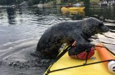 PIC BY KAREN MIKADO / CATERS NEWS - One cheeky seal jumped on to an occupied kayak before throwing some serious side-eye.