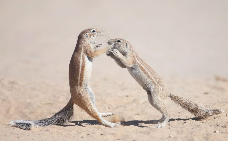 PIC BY WIM VAN DEN HEEVER / CATERS NEWS - (PICTURED: Two Squirrels play fight in Botswana.) - These squirrels look like they couldnt be happier as they play and fool around together! The cute critters even appeared to smile at one another during their game of tomfoolery. Photographer Wim van den Heever was on hand to capture the playful pair while at Kgalagadi Transfrontier Park in Botswana. Wim, 43, lives in Pertoria, South Africa and was on holiday with his son when he captured these images in October last year. - SEE CATERS COPY