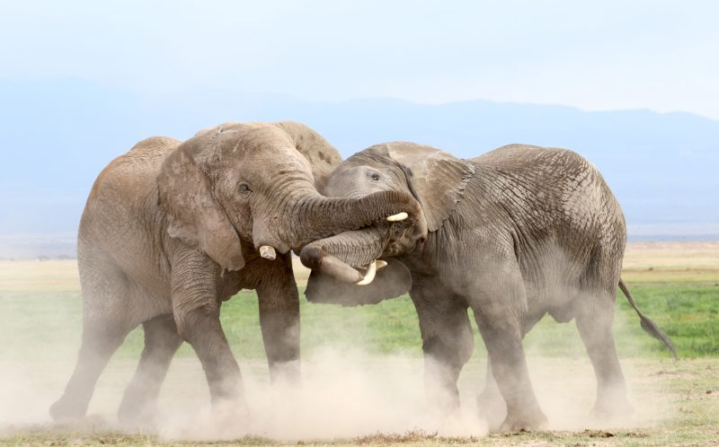 PIC BY NOMADIC BY NATURE/CATERS NEWS - (PICTURED: A veteran elephant scraps with a young challenger, the two get tangled in each others trunks.) - A wizened elephant managed to give a young pretender a good thumping - by throwing him off balance with his trunk. The older bull was challenged by a younger male for dominance within the herd at the Amboseli National Park in Kenya. But despite missing one tusk from his previous fights, the veteran used his experience to triumph on the swampy battleground. The encounter was captured by 35-year-old photographer and owner of Nomadic by Nature travel photography site Mike McCaffrey. The American, who now lives in Kenya, was taking a 20,000 km road trip through Eastern and Southern Africa to visit the national parks. SEE CATERS COPY.