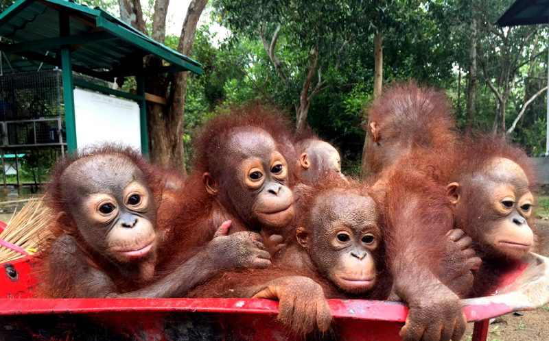 PIC BY INTERNATIONAL WILDLIFE RESCUE / CATERS NEWS - (PICTURED: A wheelbarrow of adorable Orangutans.) - Summers over and its back to school for everyone- including these adorable baby orangutans! Orangutan school is the first stage of rehabilitation for all rescued baby orangutans, and this footage shows the first day of school for new classmate Didik. Didik, who is 18 months old, has just recovered from surgery removing a bullet from his shoulder and in the video he is seen catching the school-wheelbarrow with the other babies eager to start their day of playing and climbing at school. The school is at the International Animal Rescue Orangutan Rehabilitation Centre in Ketapang, in Indonesian Borneo. SEE CATERS COPY