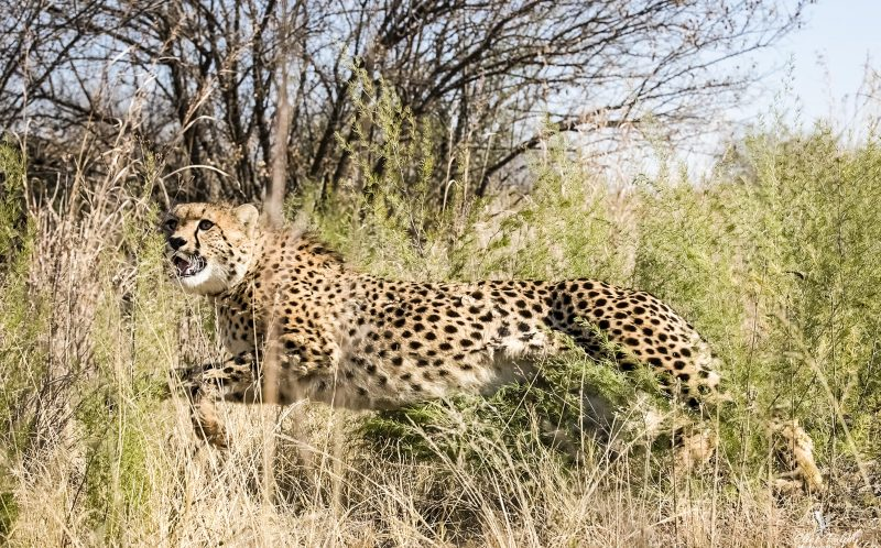 PIC BY CLINT RALPH/MERCURY PRESS (PICTURED: THE FEMALE CHEETAH A THE LAST SECOND AFTER GETTING WITHIN 5 FEET TURNS 90 DEGREES AND SPRINTS AWAY FROM PHOTOGRAPHER CLINT RALPH AT THE RIETVLEI NATURE RESERVE IN PRETORIA, SOUTH AFRICA) This is the heart-stopping moment a wild cheetah came within five feet of a photographer when it CHARGED at him in the South African bush  but veered off at the last second.The mammal mock-charged at snapper Clint Ralph in Rietvlei Nature Reserve, Pretoria, sprinting right towards his camera before veering off at a right angle only feet from him.The father-of-two admitted his heart skipped a beat as the rapid animal shot towards him - but he was more than pleased with the resulting pictures.The 53-year-old was with a park ranger watching cheetahs, buffalo and hyenas as they roamed the 3,800 hectare park. SEE MERCURY COPY