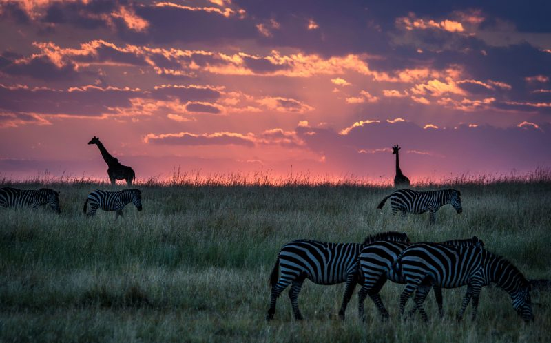 PIC JONAS STENQVIST / CATERS NEWS - (PICTURED: Two giraffes observe a herd of grazing zebras on the plains of the Masai Mara in Keyna.) - These stunning silhouettes of giraffes grazing in front of a gorgeous African sunset were captured on the Maasai Mara reserve in Kenya. Swedish producer and nature photographer, Jonas Stenqvist, 38 from Stockholm struck gold on safari, describing the shot as a simple but beautiful moment in time. Other photos by Jonas would not look out of place in a Lion King movie with the colourful skyline setting a dramatic backdrop for herds of zebra and wildebeest. SEE CATERS COPY.