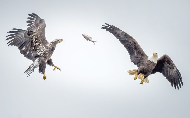 PIC BY ERIC ESTERLE / CATERS NEWS - (PICTURED: 6 of 16, Two Bald Eagles fight over a fish.) - Talk about a feeding frenzy!  This fish supper was fought over by FOUR eagles! Sometimes fishing for your own meal is too much effort, or at least thats what these lazy eagles thought when they decided to swipe their rivals catch of the day! The challenger successfully forced his opponent to drop his fish before it was swiped by ANOTHER eagle, a cheeky juvenile who saw a chance for an easy meal. - SEE CATERS COPY