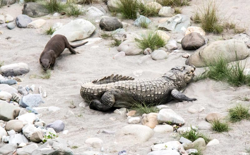 PIC BY RAMIDER SINGH / CATERS NEWS - (PICTURED: The otter gives the bewildered crocodile the run around) - Scaredy-croc! This is the brilliant moment a croc is terrified of an OTTER. The brave otter stormed over to the croc before nibbling its tail and chasing it around in a circle at the Jim Corbett National Park in India. The scaredy-croc then hid its tail from the otter as he feared being attacked again in this rare role reversal. Although the crocodile - known to feast on wild boar and deer - tries to fight back, hes no match for the nifty otter who proudly dove back in the river after winning the game. Raminder Singh, a superintendent, couldnt believe his eyes as he watched the scenario unfold. SEE CATERS COPY.