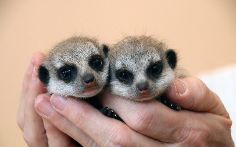 Pic from Paul Fahy/ Taronga Zoo/ Caters News - These adorable meerkats look like they are going to find life simples living Down Under. The tiny babies are the second litter of pups to be born at Sydneys Taronga Zoo this year after arriving on August 18. The duo have just started venturing outside their nest box to explore Tarongas African-themed Meerkat exhibit this week. Keeper Courtney Mahoney said: They were eager to investigate their new surroundings. These pups are more confident and adventurous than the previous litter and I think thats because they have mum, dad and two siblings to support and protect them. SEE CATERS COPY