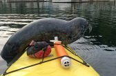 PIC BY KAREN MIKADO / CATERS NEWS - (PICTURED: Karen Mikado was surprised by a cheeky seal who jumped on to the front of her kayak while paddling through Deep Cove, British Columbia, Canada, with the pup even throwing her some serious side-eye.) - One cheeky seal jumped on to an occupied kayak before throwing some serious side-eye when the rower questioned why. While paddling through Deep Cove in British Columbia, Canada, on August 7, Karen Mikado was visited by a very inquisitive pup. After scanning the surface with its eyes poking out of the water, the seal clumsily clambered on to the front of the boat having to shimmy its body a couple of times. When Karen dares to ask what the precocious pup is doing, it throws a quick look of contempt to her with its right eye. - SEE CATERS COPY