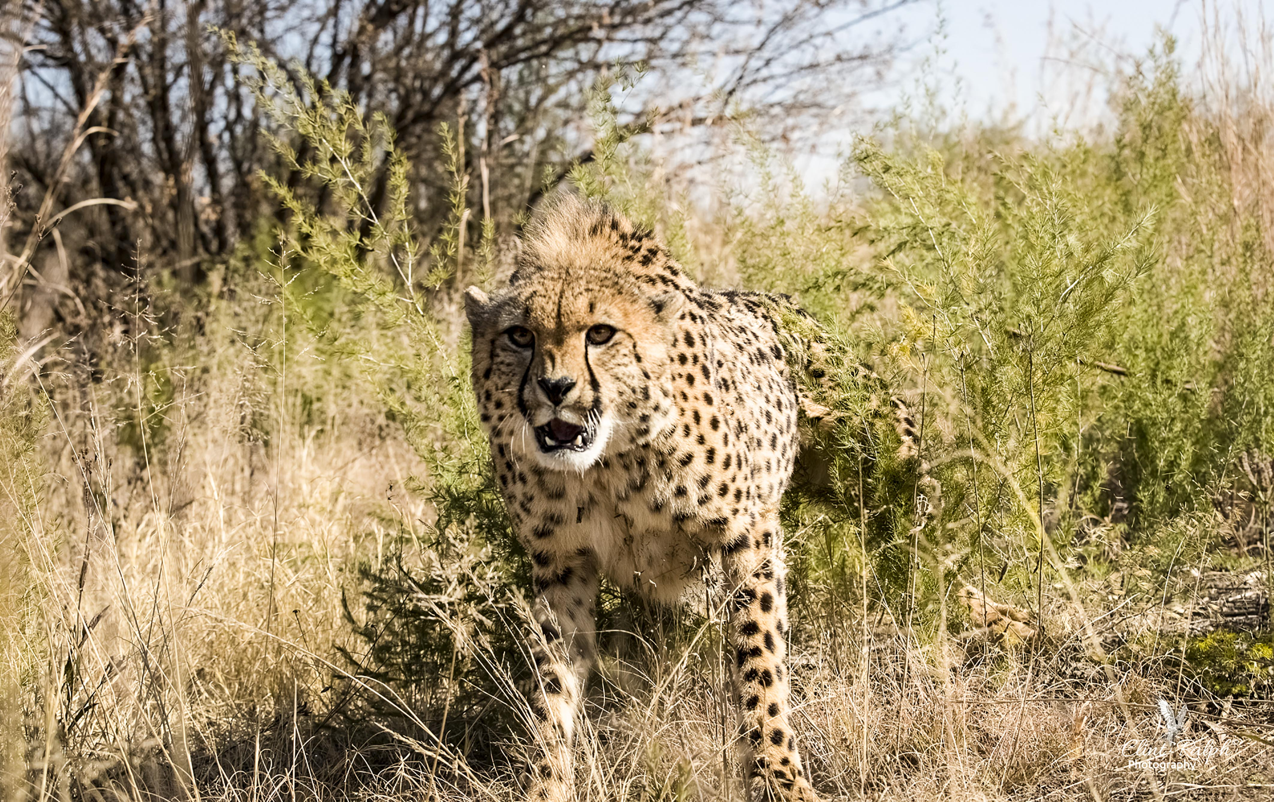 Cheetah Charges At Photographer Caters News Agency