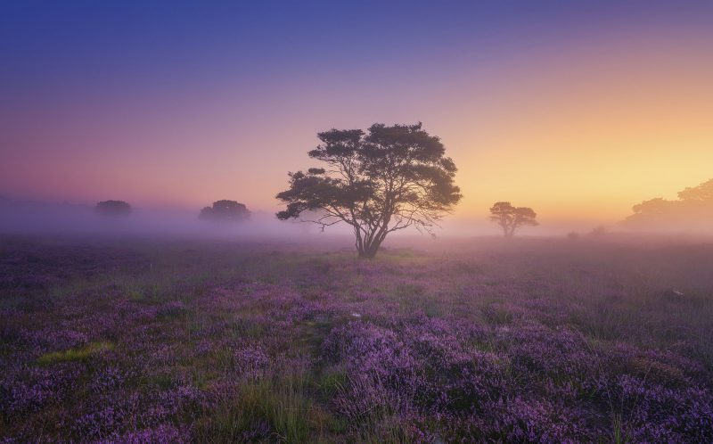 Purple lavender fields