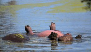 PIC BY JACKIE CILLIERS / CATERS NEWS - (PICTURED: A Hippo lies on its back catching some rays in the water.) - This is the funny moment a hippo was pictured lying on its back with its legs in the air in what looked like an attempt to tan its bright pink belly. The sun-loving hippo was an unusual sight as it floated on its back in the water. Photographer Jackie Cilliers, 52, captured the funny moment on camera while on holiday with her family at Kruger National Park, South Africa. Jackie and her daughter were in a hide, about 10 meters away when the hippo went belly up and she quickly started photographing the hippo in its unusual pose. But while it may appear this happy hippo was catching some rays it was actually rolling over in the water when Jackie spotted it belly-up. - SEE CATERS COPY
