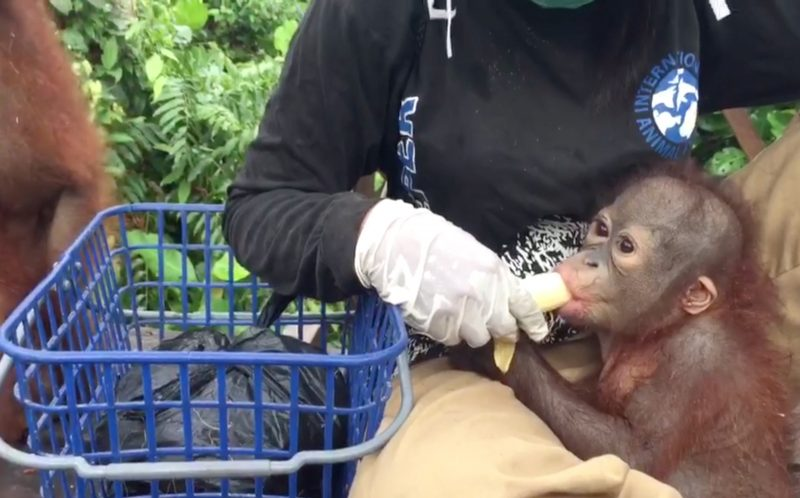 PIC BY INTERNATIONAL WILDLIFE RESCUE / CATERS NEWS - (PICTURED: One of the baby orangutans is fed by an IWR worker.) - Summers over and its back to school for everyone- including these adorable baby orangutans! Orangutan school is the first stage of rehabilitation for all rescued baby orangutans, and this footage shows the first day of school for new classmate Didik. Didik, who is 18 months old, has just recovered from surgery removing a bullet from his shoulder and in the video he is seen catching the school-wheelbarrow with the other babies eager to start their day of playing and climbing at school. The school is at the International Animal Rescue Orangutan Rehabilitation Centre in Ketapang, in Indonesian Borneo. SEE CATERS COPY