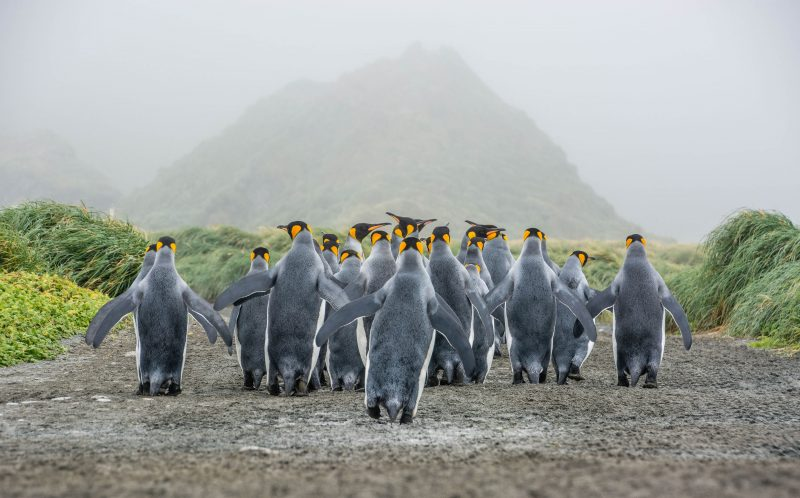 PIC FROM LOMBARDI/CATERS NEWS - (pic shows marching king penguins Macquarie Island) These BRRR-illiant photographs show the stunning beauty of the Earths frozen Antarctic wilderness. All of these 24 incredible images have been chosen from a short-list of more than 60 as part of the Antarctic Photography Exhibition 2016 at the Tasmanian Museum and Art Gallery. As well as icebergs and frozen landscapes the pictures also encompass the rich wildlife of the South Pole with amazing sightings of characterful penguins, hunting killer whales and basking leopard seals. Bizarrely some of the images provoke a sense of fun with a photograph by Wressel entitled The Meeting which shows two researchers dressed in red meeting two inquisitive emperor penguins. SEE CATERS COPY