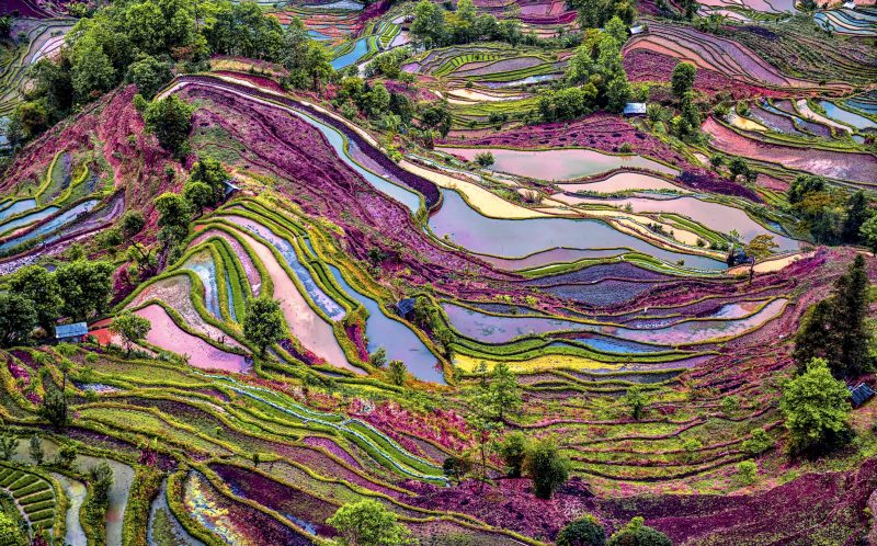 PIC BY ENRICO BARLETTA/CATERS NEWS - (PICTURED: A beautiful purple coloured rice field in China.) - These breathtaking pictures show the vast array of colours found all over the world. The stunning photos range from the purple rice fields of China to the beautiful night sky in the Russian countryside. The collection was brought together by a range of photographers who have all captured the images in the last five years. SEE CATERS COPY