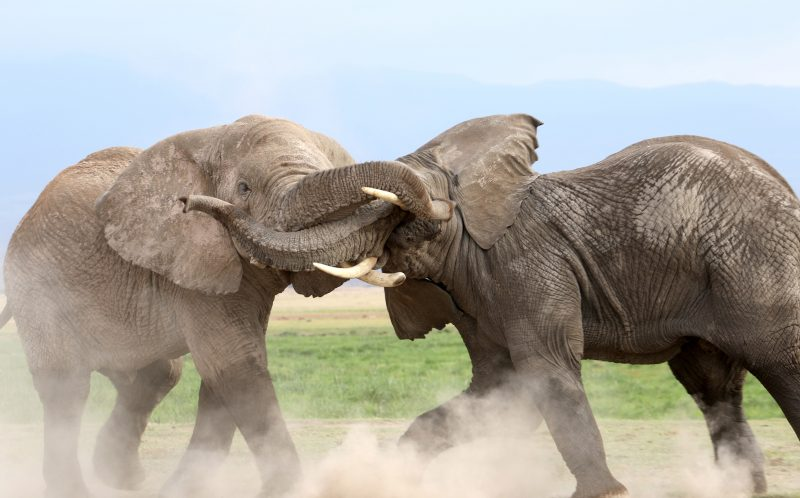 TANGELED TRUNK ELEPHANT FIGHT