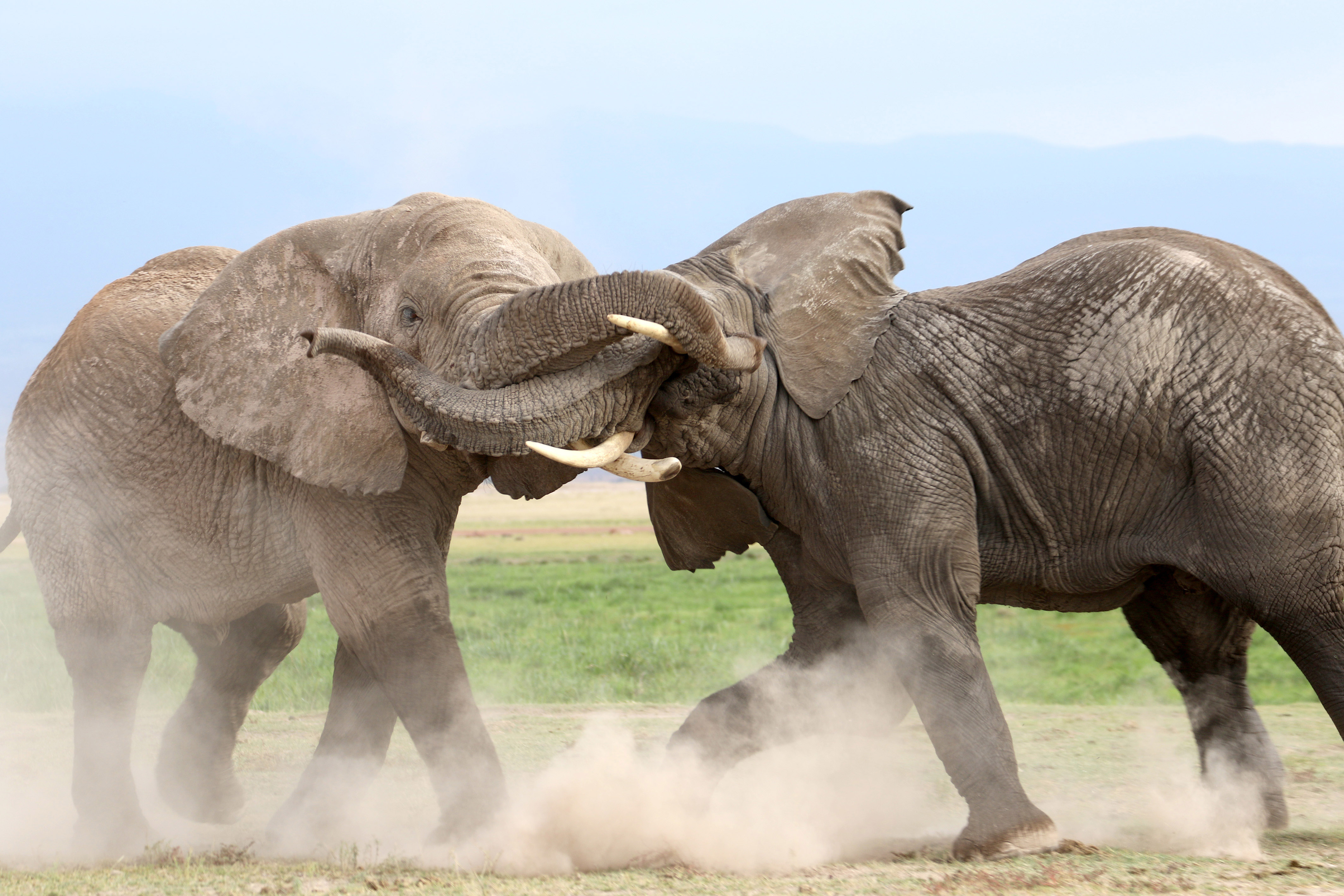 you're in for a trunking, elephants battle for dominance - caters