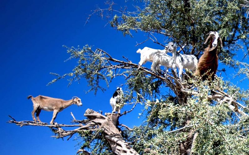PIC BY BURAK SENBAK/CATERS NEWS - (PICTURED: A herd of goats standing on the branches of a tree.) - Money might not grow on trees but it looks like goats do! These goats threw caution to the wind and scaled this Argan tree right to the very top, even balancing on the most unsturdy of branches. It looks like a bit of a baa-lancing act, but the goats hooves are perfectly adapted to climbing the trees, where they graze on the Argan fruit. Amateur photographer Burak Senbak, 51, took these hilarious photos whilst travelling through Morocco in July. Burak is originally from Turkey and works as a mechanical engineer, but has pursued his passion for photography for 10 years. Intrigued by the sight of goats in a tree, Burak couldnt resist the opportunity to take some photos, and said the goats proved a perfect subject. SEE CATERS COPY.