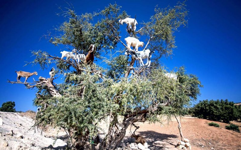 PIC BY BURAK SENBAK/CATERS NEWS - (PICTURED: A group of goats standing on the branches of a tree.) - Money might not grow on trees but it looks like goats do! These goats threw caution to the wind and scaled this Argan tree right to the very top, even balancing on the most unsturdy of branches. It looks like a bit of a baa-lancing act, but the goats hooves are perfectly adapted to climbing the trees, where they graze on the Argan fruit. Amateur photographer Burak Senbak, 51, took these hilarious photos whilst travelling through Morocco in July. Burak is originally from Turkey and works as a mechanical engineer, but has pursued his passion for photography for 10 years. Intrigued by the sight of goats in a tree, Burak couldnt resist the opportunity to take some photos, and said the goats proved a perfect subject. SEE CATERS COPY.