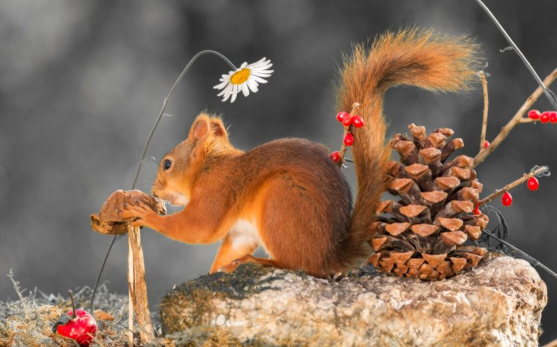 PIC BY GEERT WEGGEN / CATERS NEWS - A close up of red squirrel on a rock holding a mushroom.