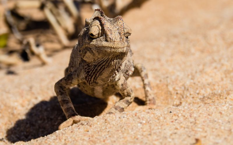PIC BY SONKE PETERS / CATERS NEWS - A Chameleon in the Namib Desert, Namibia, Africa.