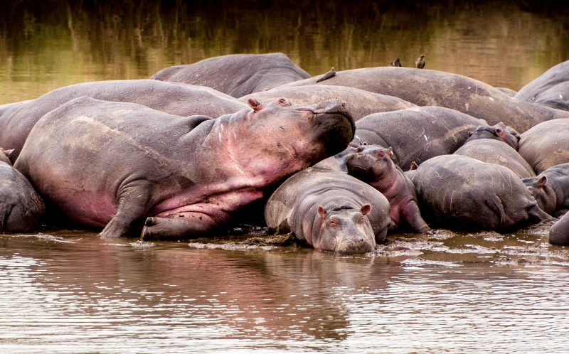 PIC BY JULIA SUNDUKOVA / CATERS NEWS -(PICTURED: A adult hippo rests her head on a smaller hippo.) - This baby hippo has almost definitely had better days - after he was captured on camera getting SQUASHED by another of the enormous beasts. The calf was snapped by photographer Julia Sundukova, 37, playing on the edge of a group as the pod wallowed in the Mara river in Tanzania. But he looked less than impressed when a fully-grown hippo, desperate to get to her calf, decided to clamber over him - before plonking herself down straight on top of him. The poor youngster is then forced to try and squeeze his way out - before eventually emerging triumphant. SEE CATERS COPY.