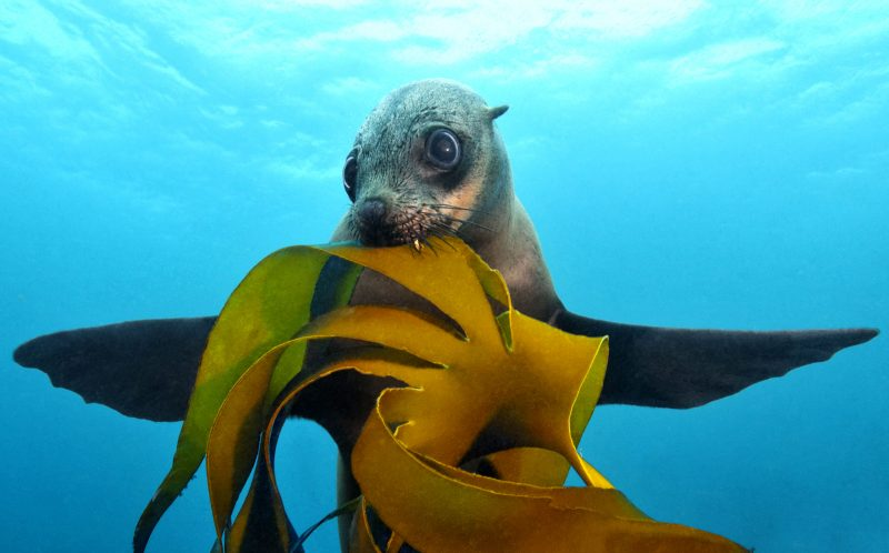 PIC BY TOBIAS FREIDRICH/CATERS NEWS - (PICTURED: Brown fur seal, or Cape fur seal biting in bull kelp spreading its flippers sidewards with blue water background, False Bay, Simonstown, Cape Town, South Africa, Atlantic Ocean.)- A seal with a human-sized appetite put unsuspecting divers on the menu near Cape Town in South Africa which left them in hysterics. Tobias Friedrich, a 35 year old underwater photographer from Wiesbaden, Germany snapped the seal gearing up to take a chunk out of him during his dive at Simonstown. SEE CATERS COPY