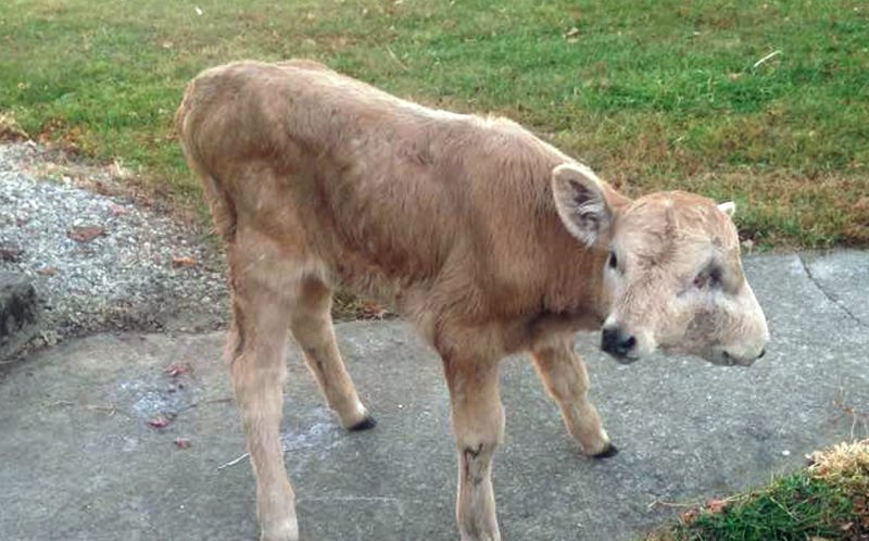Two faced calf walking