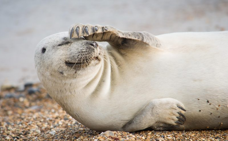 PIC BY Julie Saunders/MERCURY PRESS - This bashful seal looks incredibly embarrassed to be the main feature of this photographers snaps.