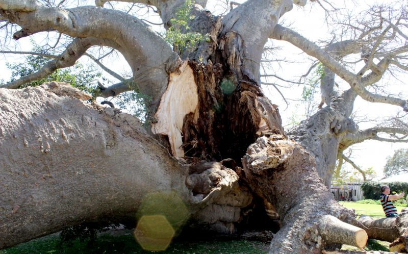 PIC FROM SUNLAND FARM/ CATERS NEWS - (PICTURED: The split down the middle of the famous Boabab tree.) -Well have to split the bill...a 1000 year old tree that had a BAR fashioned in its hollow middle has collapsed - after the tree was struck by lightning. The Baobab tree, in Limpopo, South Africa, became a major tourist attraction after owner Heather van Heerden turned it into a bar. But she was devastated when a recent thunderstorm literally split the bar in two - after striking the trees enormous branches. The baobab tree has been dated back by recent technology to 1100 years and is even believed to be older than the Pyramids. SEE CATERS COPY