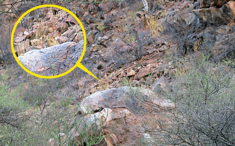 PIC BY VILLIERS STEYN / CATERS NEWS - Did you spot this leopard?