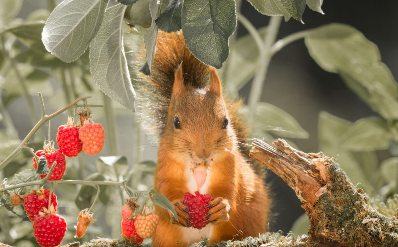 PIC BY GEERT WEGGEN / CATERS NEWS - A red squirrel eating a raspberry.