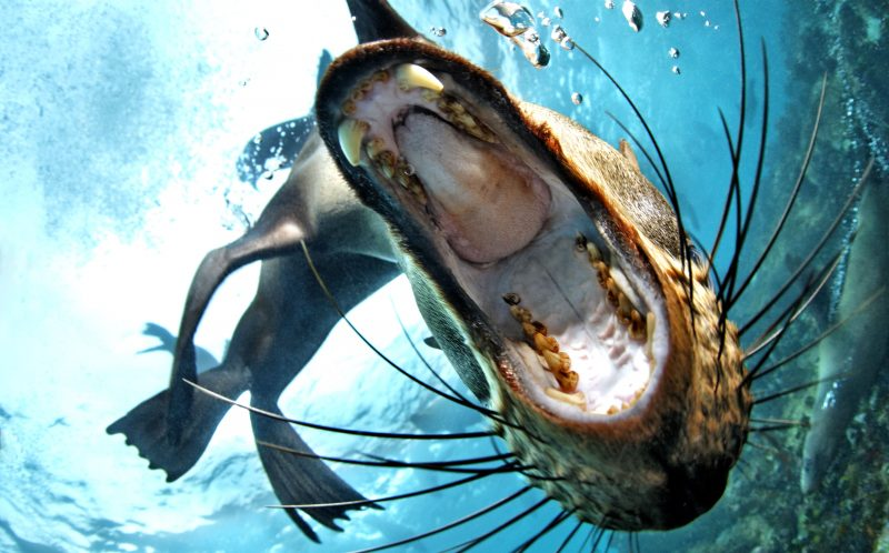 PIC BY TOBIAS FREIDRICH/CATERS NEWS - (PICTURED: A brown fur seal, or Cape fur seal opening its mouth wide in front of the dome port of the camera with blue water background, False Bay, Simonstown, Cape Town, South Africa, Atlantic Ocean.) - A seal with a human-sized appetite put unsuspecting divers on the menu near Cape Town in South Africa which left them in hysterics. Tobias Friedrich, a 35 year old underwater photographer from Wiesbaden, Germany snapped the seal gearing up to take a chunk out of him during his dive at Simonstown. SEE CATERS COPY