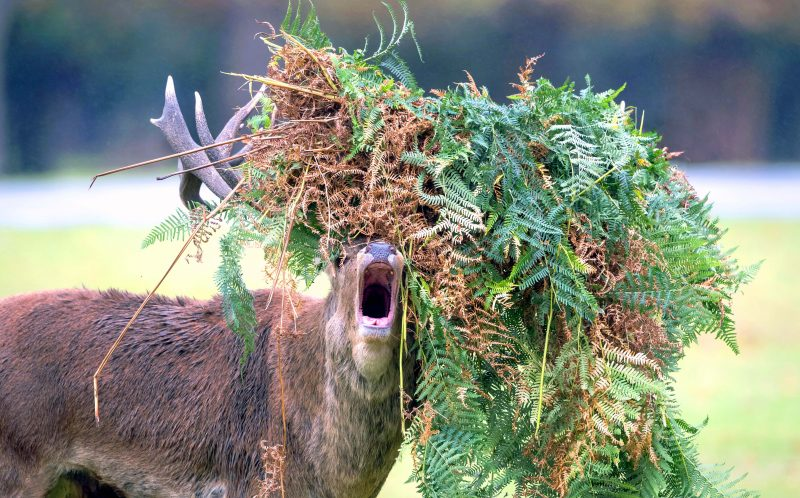 PIC BY KEVIN PIGNEY/CATERS NEWS - This Stag appears to be in desperate need of a haircut.