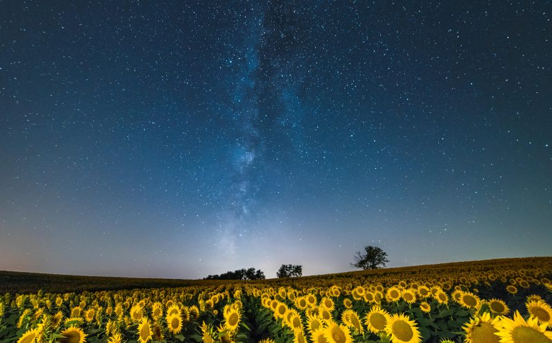 PIC BY RYAN HEFFRON / CATERS NEWS - (PICTURED: Sunflowers blooming under The Milky Way near Larence, Kansas, USA.) - These sunflowers are shining brightly for the stars. Photographer Ryan Heffron captured the field of flowers lined up under the Milky Way on Grinter Farms, near Lawrence, Kansas. Having seen photographs of the sunflowers during the day, he calculated months in advance when the sunflowers and Milky Way would be perfectly aligned, and pounced on a three-day window of good weather to take the snaps. SEE CATERS COPY.