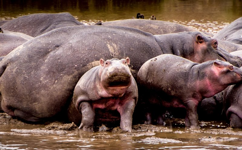 PIC BY JULIA SUNDUKOVA / CATERS NEWS -(PICTURED: The trapped hippp struggles to free himself from under the larger hippos bulk.) - This baby hippo has almost definitely had better days - after he was captured on camera getting SQUASHED by another of the enormous beasts. The calf was snapped by photographer Julia Sundukova, 37, playing on the edge of a group as the pod wallowed in the Mara river in Tanzania. But he looked less than impressed when a fully-grown hippo, desperate to get to her calf, decided to clamber over him - before plonking herself down straight on top of him. The poor youngster is then forced to try and squeeze his way out - before eventually emerging triumphant. SEE CATERS COPY.
