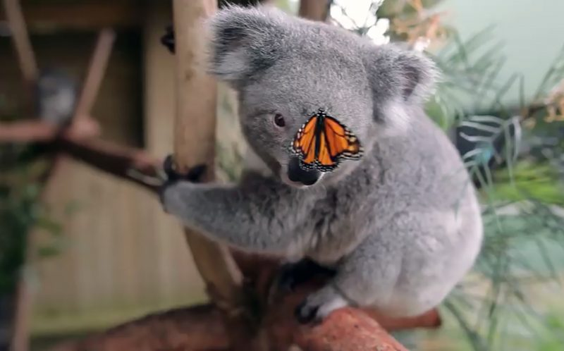 Pic from Kevin Fallan/ Caters News - Staff at an Australian wildlife park had an adorable surprise when a butterfly photobombed a sustainability video they were shooting and a baby koala immediately started playing with it. In the video one-year-old joey Willow can be seen nuzzling the butterfly, which happily sits on her face and nose. Both insect and marsupial appear fascinated with one another in the 30-second clip. Kevin Fallow, who shot the video at Symbio Wildlife Park, near Sydney, Australia, said: The butterfly was on the flower and we were in the middle of capturing footage for a sustainability video I am doing to showcase all the initiatives we have in place. SEE CATERS COPY