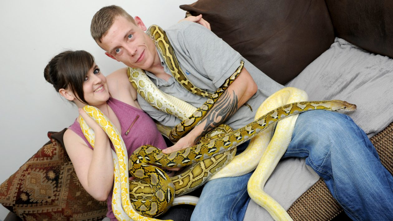 PIC BY KORAY EROL/CATERS NEWS (Pictured: Lewis Weightman and Sam Gorman holding four of their snakes) - A snake mad couple have transformed their living room into a reptile paradise  with some snakes weighing 12 STONE. Lewis Weightman, 28, from Bulkington, Warwickshire and his partner, Sam Gorman, 23, began collecting snakes six years ago and now have dozens of them caged in their lounge  they include 12 foot long boa constrictors and pythons. The couple even have an entire fridge full of mice and rats to feed their snakes in their kitchen. The snake breeders even claim some of their friends are too frightened to visit their home in case some of the snakes escape. With their snake and lizard collection increasing every year, the couple say they will probably never live without reptiles. SEE CATERS COPY.