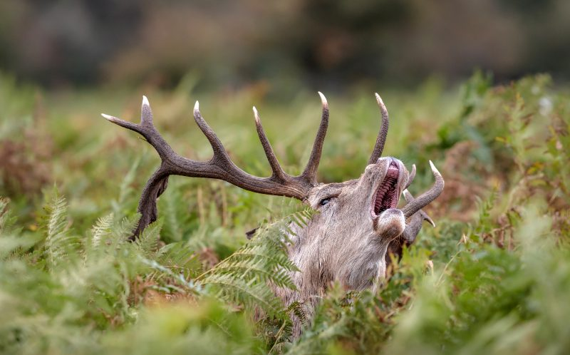PIC BY KEVIN PIGNEY/CATERS NEWS - A stag poking his head out from beneath the foliage and letting out a cry.