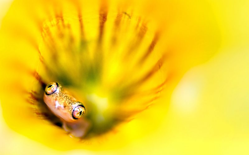 PIC BY JULIA SUNDUKOVA/CATERS NEWS - (PICTURED: A tiny little frog peeks out of a bright yellow flower.) - These incredible pictures show a tiny FROG peeking out of a bright yellow flower. The shy little amphibian almost blended into the golden flower - but one eagle- eyed photographer spotted the critter and caught him on camera. Julia Sundukova, from Russia, spotted the minuscule frog hiding in the flower during a trip to Madagascar. SEE CATERS COPY