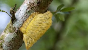 PI BY JEFF CREMER/ CATERS NEWS - (PICTURED: The flannel moth) - This caterpillar is certainly a hairy critter  it looks just like Donald Trumps famous do! The flannel moth caterpillar, also known as a little sheep in Spanish, has an unfortunate resemblance to the Republican Presidential nominee. The caterpillar was snapped in the Peruvian Amazon by American photographer and teacher Jeff Cremer, who lives in Lima, Peru. Jeff, 38, said: I give photography tours in the Peruvian Amazon and while I was putting my boots on a guy said, hey, theres a cool caterpillar on a tree over there. I went over to see what it was and sure enough, it was Donald Trumps hair hanging out on a tree. SEE CATERS COPY.