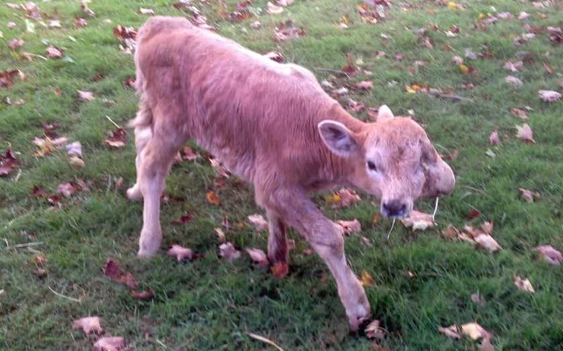 PIC FROM CATERS NEWS - The two faced calf standing on its own.
