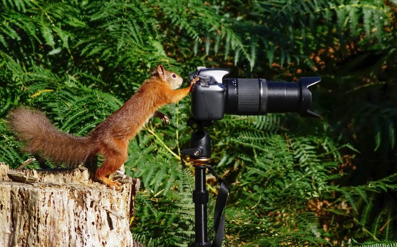 PIC BY TIM CLIFTON/MERCURY PRESS - The squirrel looks in the viewfinder.