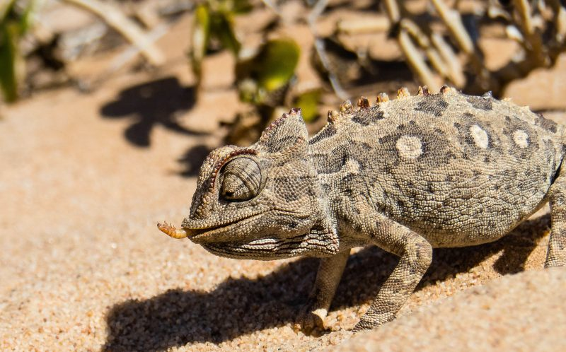 PIC BY SONKE PETERS / CATERS NEWS - A satisfied Chameleon eating.