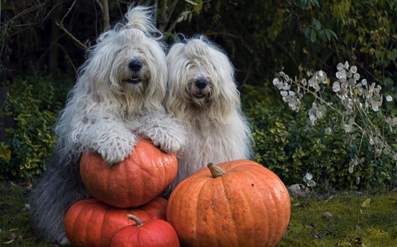 PIC BY CEES BOL/ CATERS NEWS - Sophie and Sarah posing with their halloween  pumpkins.
