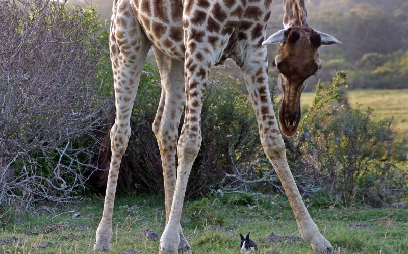 ***MANDATORY BYLINE PIC BY AYESHA CANTOR/ CATERS NEWS *** - (PICTURED: The giraffe beding down to gently touch the giraffe) - Its hardly the classic outback scene that wildlife photographers expect to snap on safari - but this is the bizarre moment a giraffe appears to make friends with a domestic bunny rabbit. South African photographer Ayesha Cantor, 49, was taking a game drive around Kragga Kamma Game Park, near her home, when she stopped to take some pictures of giraffes basking in the setting sun. She noticed one giraffe seemed to be preoccupied by something on the ground - and was amazed when she realised it was a domestic rabbit. SEE CATERS COPY.