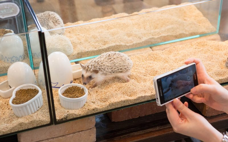 PIC BY 28 LAB / CATERS NEWS - Visitors taking pictures of the adorable hedgehogs.