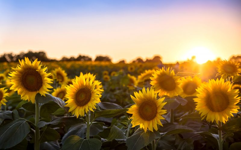 PIC BY RYAN HEFFRON / CATERS NEWS - (PICTURED: Sunflowers blooming in the setting sun near Larence, Kansas, USA.) - These sunflowers are shining brightly for the stars. Photographer Ryan Heffron captured the field of flowers lined up under the Milky Way on Grinter Farms, near Lawrence, Kansas. Having seen photographs of the sunflowers during the day, he calculated months in advance when the sunflowers and Milky Way would be perfectly aligned, and pounced on a three-day window of good weather to take the snaps. SEE CATERS COPY.