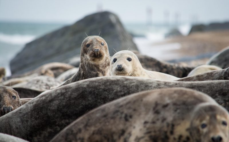 PIC BY Julie Saunders/MERCURY PRESS - Horsey Beach in Norfolk is famed for its grey seal population.